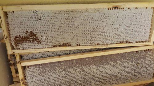 Golden Blossom Premium Honey Comb Ideal Frame